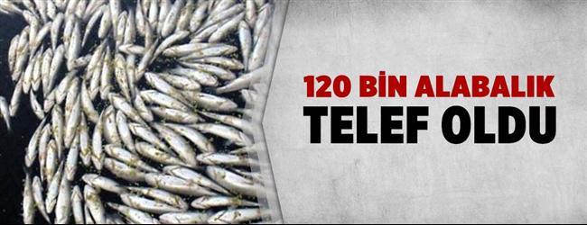 Bilecik'te yaklaşık 120 bin alabalık telef oldu.